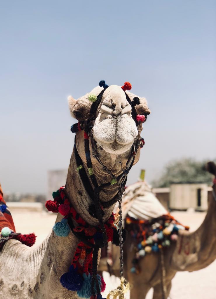 The Great Pyramid of Giza - Camel